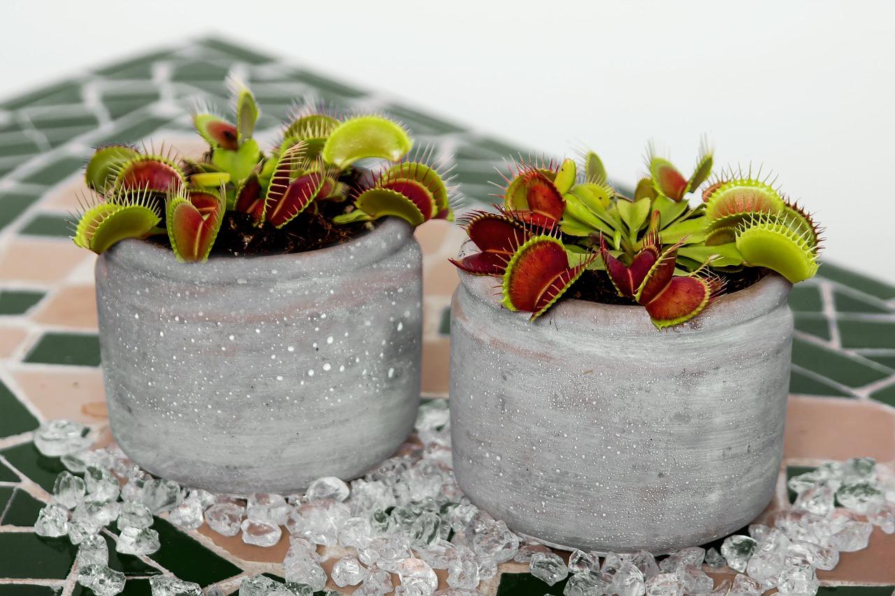 plantes carnivores - plante insectivore