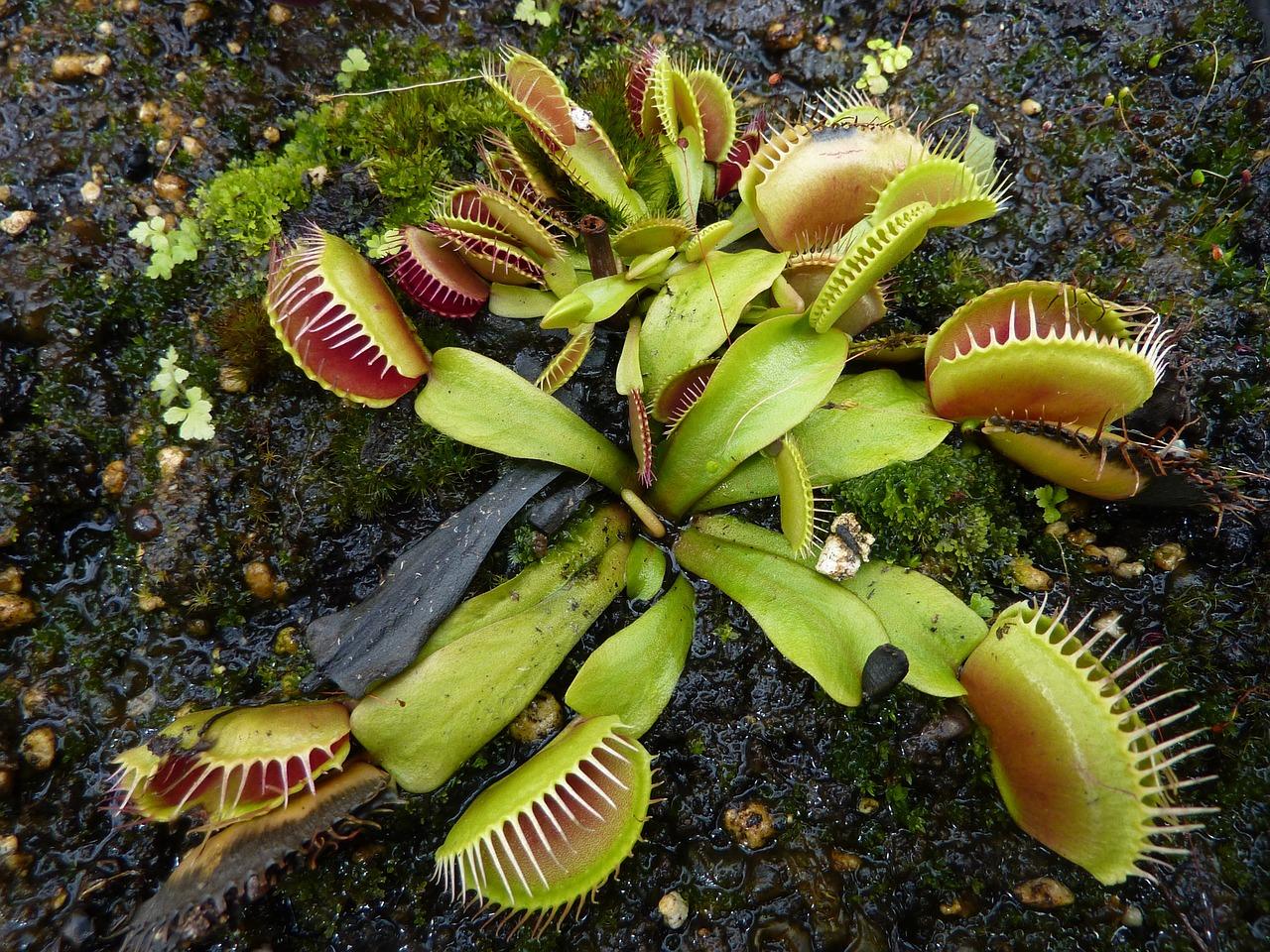 plante carnivore - mouche venus